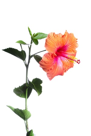 caribbean climate: Hibiscus flowers  Stock Photo