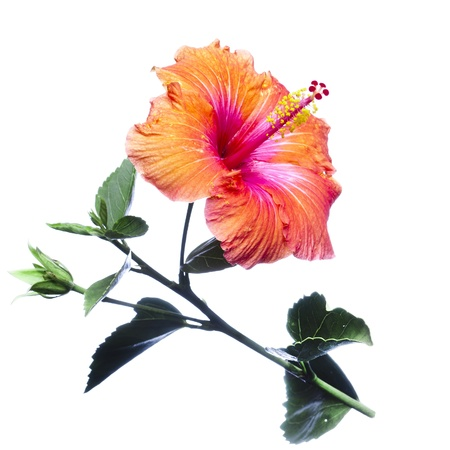hibisco: Flores de hibisco Foto de archivo