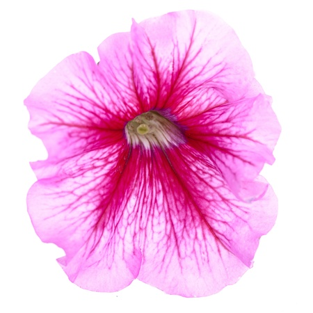 petunia: pink flower of petunia isolated on white background