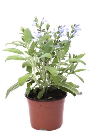 salve: sage in the pot