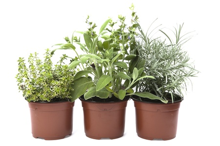 cary: Three herbs, sage , cary, and oregano in the pots
