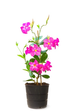 funnel shaped: Mandevilla  Dipladenia  in the pot, isolated