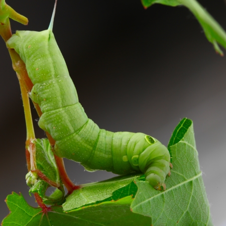 silkworm: Caterpillar on a grape leaf.
