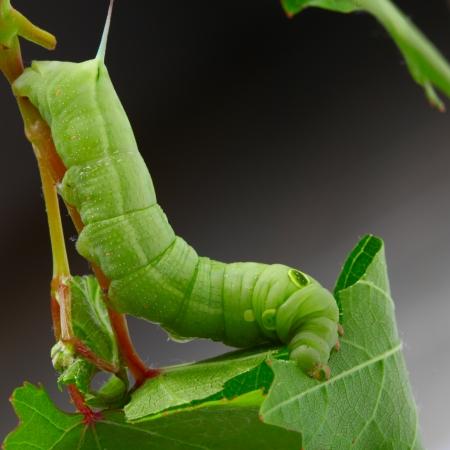 leaf grape: Oruga sobre una hoja de parra. Foto de archivo