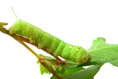 silkworm: Caterpillar on a grape leaf. Stock Photo