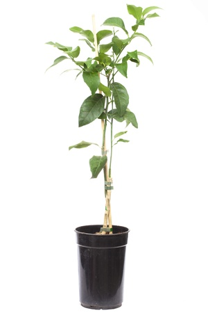 seedling citrus tree plant in the small pot , isolated on white  photo