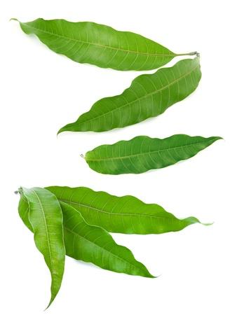 Mangoblättern Standard-Bild - 15933383