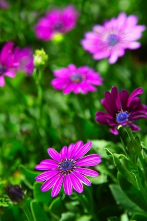 daises: Purple daisy flowers, Osteospermum