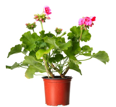 Pink geraniums in a pot isolated on a white background  photo