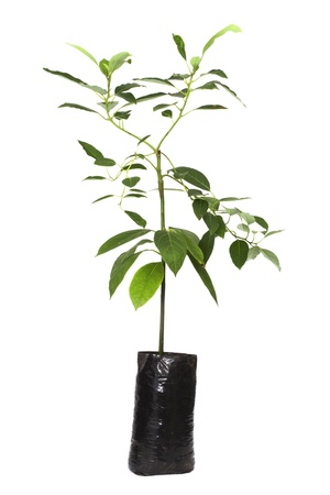 seedling avocado tree plant in Planting bags , isolated on white  photo