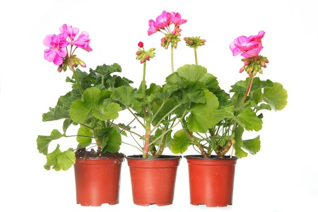 three pot with pink geraniums isolated on a white background Foto de archivo