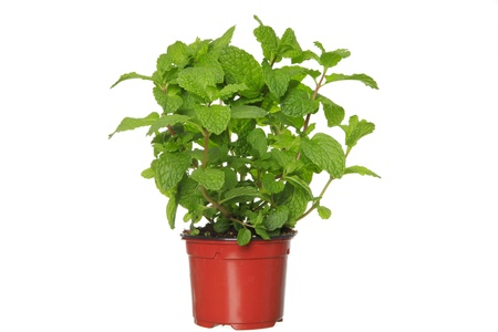 Fresh mint herb on a pot over white   photo