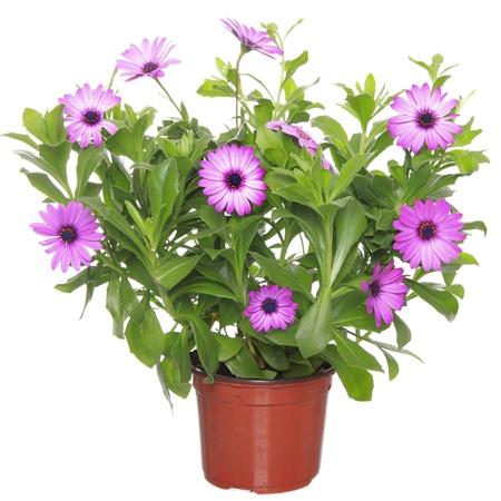 Pot con violeta de la margarita africana (Dimorphoteca, Osteospermum) flor Foto de archivo - 17321882