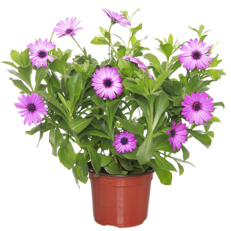 Pot with violet african daisy (Dimorphoteca, Osteospermum) flower  photo