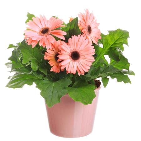 Gerber Blumen in einem Blumentopf auf einem weißen Hintergrund.