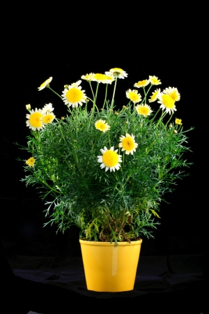 Pot with yellow daisy flower photo