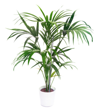 indoor plants: Kentia Palm Tree  Stock Photo