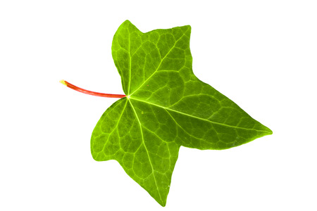 Green ivy leaf photo
