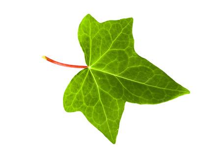 Groene klimop blad