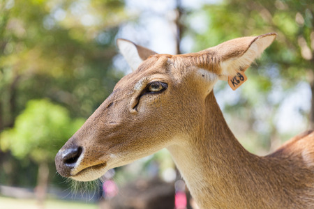 Close up Deer with Wildlife tracking tag photo