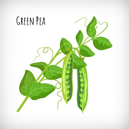 Green pea plant, pea open pods, green leaves in flat style on white background. Vegetable organic eco bio farm products. Lettering Green Pea. Hand drawn image. Vector illustration.  イラスト・ベクター素材