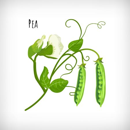 Green pea plant, pea flowers, pea open pods, green leaves in flat style on white background. Vegetable organic eco bio farm products. Lettering Pea. Hand drawn image. Vector illustration.