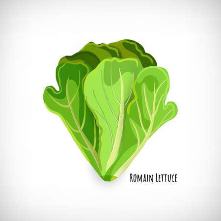 Green romain lettuce isolated on white background. Fresh leaves ingredient for salad in flat style. Lettering Romain Lettuce. Healthy organic vegetarian food vector Illustration.