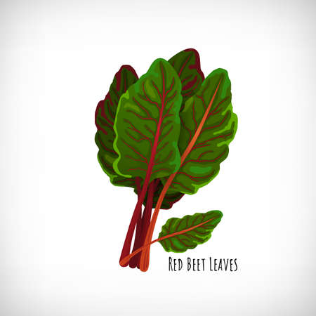 Red beet plant with fresh raw leaves isolated on white background. Ingredient of healthy diet vegetarian food. Green salad plant in flat style. Lettering Red Beet Leaves. Vector illustration. Illustration