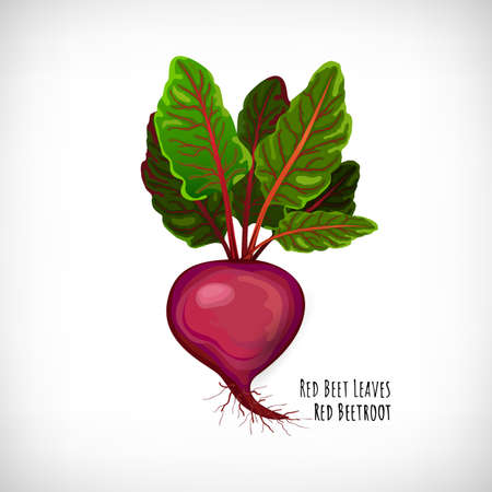 Red beetroot plant with fresh raw leaves isolated on white background. Healthy diet vegetarian food. Green salad plant in flat style. Lettering Red Beetroot, Red Beet Leaves. Vector illustration. Illustration