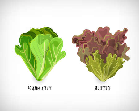 Set of salad plants. Green romain lettuce and escarole. Fresh leaves ingredient for salad in flat style. Sign Romain Lettuce, Red Lettuce. Healthy organic vegetarian food vector Illustration. Illustration