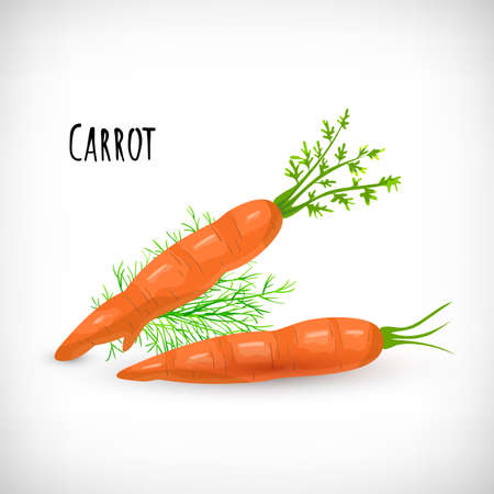 Whole unpeeled carrots with green leaves, dill twig in flat style. Vegetable organic eco bio farm product. Lettering Carrot. Carrot vegetable hand drawn image. Vector illustration on white background.