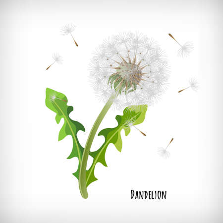 Dandelion plant with green leaves and flying seeds in the wind isolated on vignette background. Lettering Dandelion. Hand drawn herb icon. Element for print, cards, web designs. Vector illustration. Illusztráció
