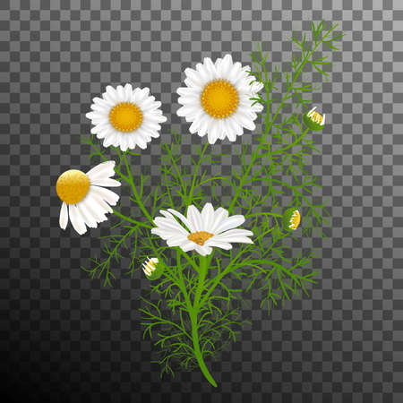 Vector illustration. Simple realistic bouquet of chamomile plant. Camomile white flowers, buds, green leaves, stems. Black and transparent background. Elements for web design.