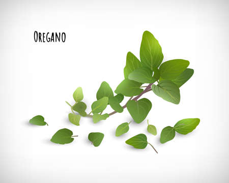 Oregano plant and leaves isolated. Spices herbs concept. Lettering Oregano. Elements for web design on vignette background. Vector illustration.