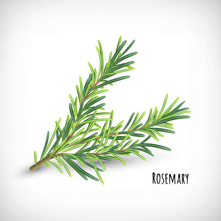Rosemary plant. Spice herbs concept. Isolated rosemary twig on vignette background. Lettering Rosemary. Herb and spice vector element for web design. Vector illustration.