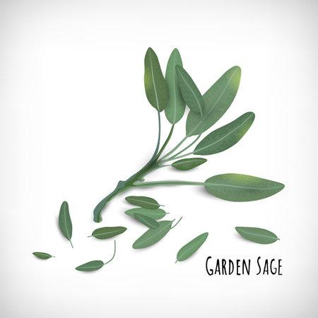 Garden Sage plant and leaves isolated. Spices herbs concept. Lettering Garden Sage. Elements for web design on vignette background. Vector illustration. Banque d'images