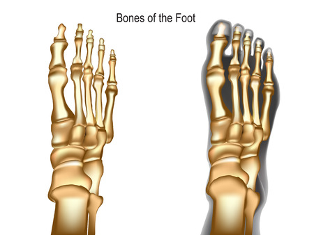 Bones the of foot Vector Illustration
