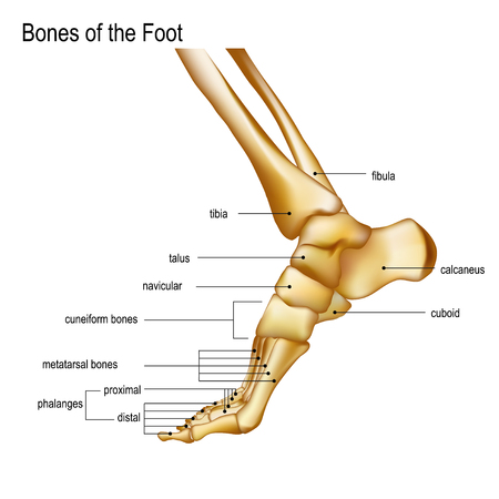 Foot with Ankle. Realistic skeleton of human leg with titles of bones Anatomy of joints, Medial aspect view. For advertising or medical publications. Vector illustration stock vector.