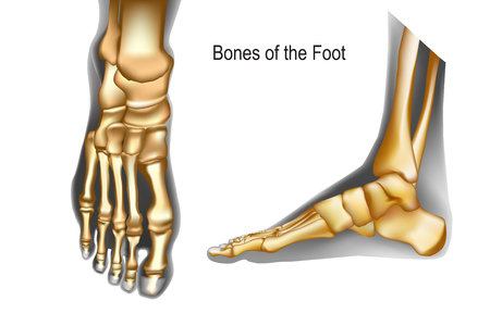 Bones the of foot top and medial view. Realistic skeleton of human leg with Ankle. Anatomy of joints. For advertising or medical publications. Vector illustration stock vector.