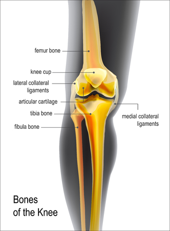 Light yellow realistic view of skeleton bones knee of human leg. Anatomy of joints with names of bones. For vertical advertising or medical publications. Illustration stock vector. Vector Illustration