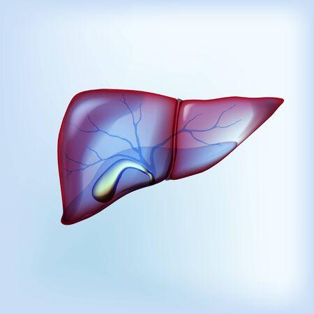 Realistic liver and gallbladder on light blue isolated Ilustração