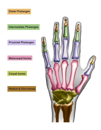 Hand bones with anotations for learning or medical publications.