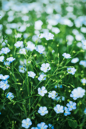 Field of flowering flax. Macro. Selective focus. Natural economy.