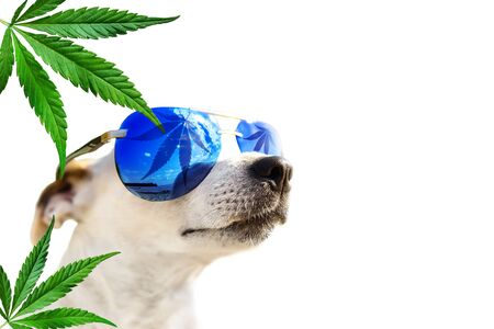 Dog Jack Russell in sunglasses, which leaf cannabis, marijuana. Hemp leaves in the background. Animal CBD Oil Concept