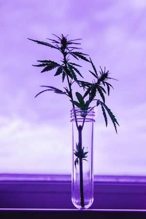 Cannabis leaf and bush in vitro. The concept of home grown hemp for oil, medical purposes. Medical laboratory