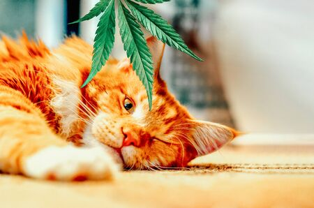 Concept of animal feed, vitamins with CBD oil and cannabis. Cute red kitten with a smile sleeps, hemp leaves in the background 版權商用圖片
