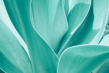 Turquoise pastel tropical plant close-up. Abstract natural Vegetable delicate background. Selective focus, macro. Flowing lines of leaves