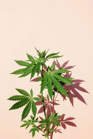 Beautiful green marijuana plant, hemp leaves on a pink background. Cannabis background Front view, close up Stok Fotoğraf