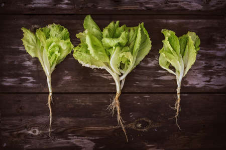 Pattern from fresh Lettuce leaveson a wooden dark table. Batavia salad. Authentic still life with green salad flat lay. Rustic style Top view