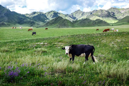 Cows graze on ecological meadows against the backdrop of a mountain landscape and sky with clouds Reklamní fotografie